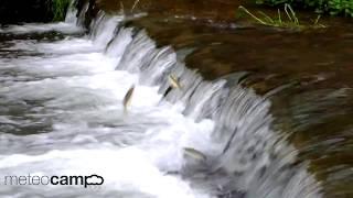 Remontan las bogas  el río Ebro en Reinosa